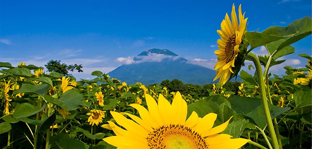 Yotei with Sunflowers