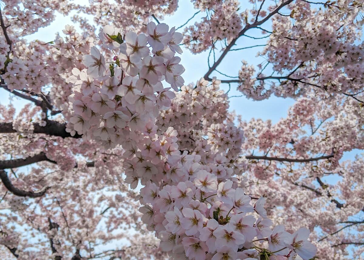 cherry blossoms sakura hokkaido niseko japan