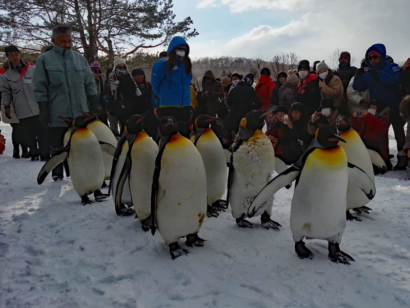 Asahiyama Zoo Penguin Walk