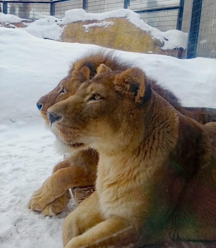 Lions in Asahiyama Zoo