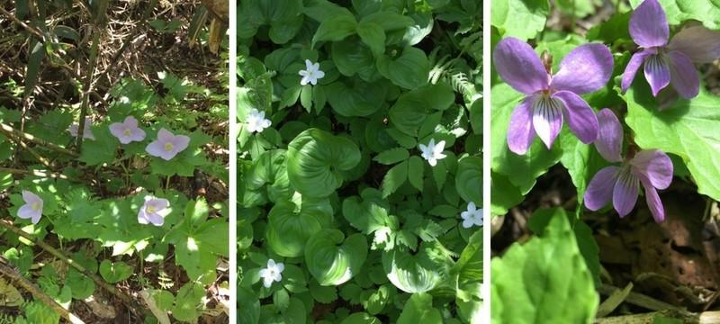 白樺山に咲くシラネアオイ、エゾイチゲ、スミレの花