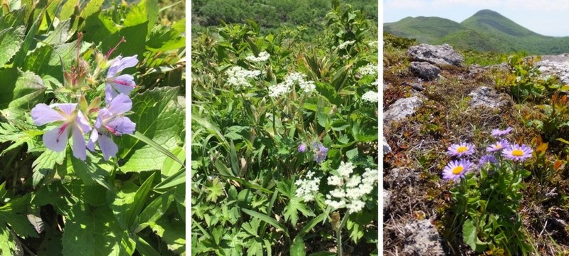 白樺山のチシマフクロウ、ミヤマアズマギク、オダマキ