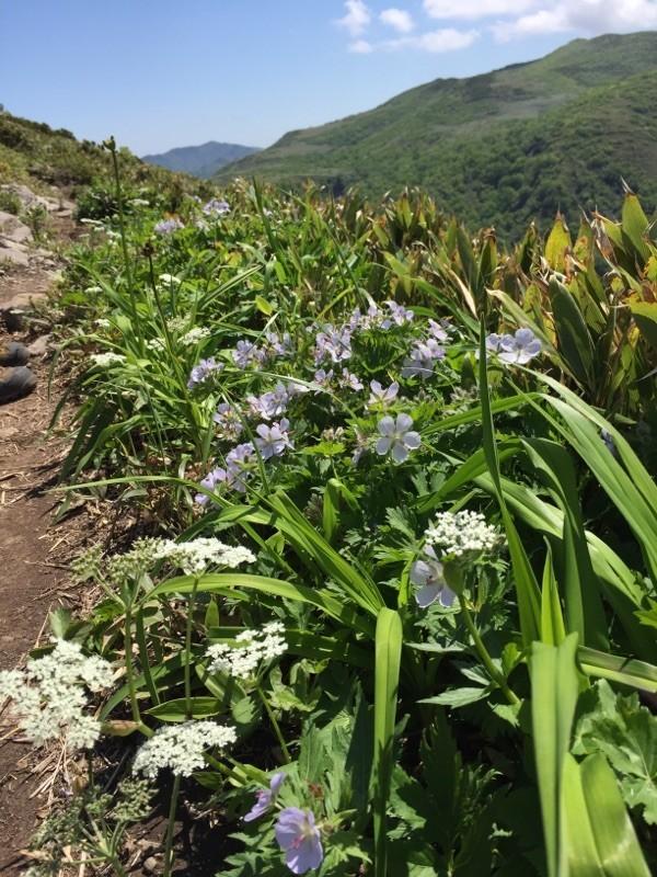 北海道の山に咲く花