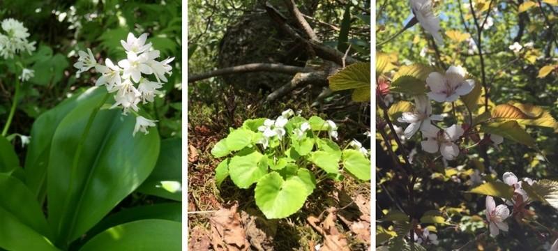 シャクナゲ岳のツバメオモト、白スミレ、桜
