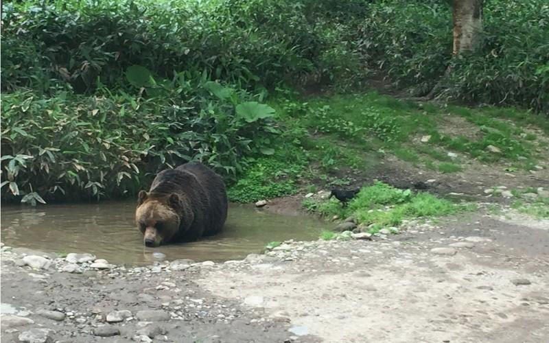 ベアマウンテンのクマ
