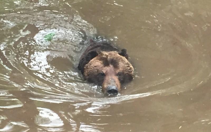 泳ぐ北海道の熊