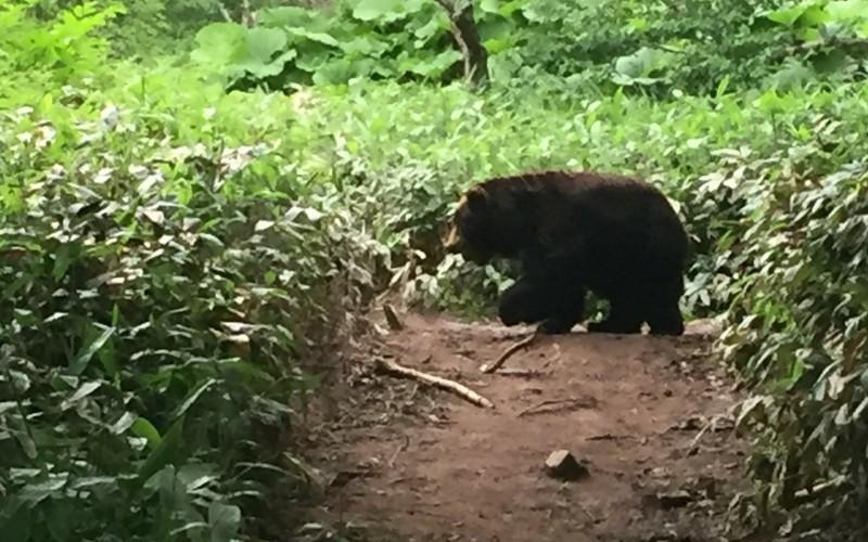 木の実を拾うクマ