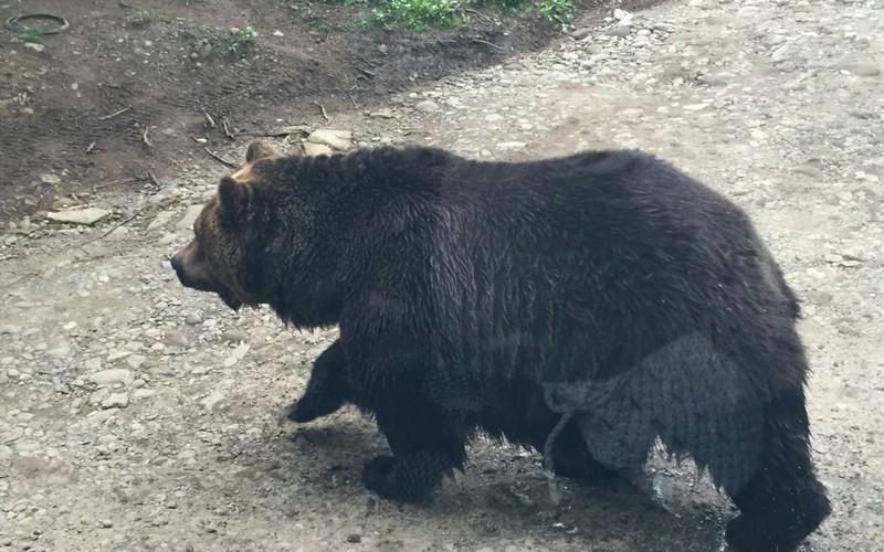 道を渡る北海道のクマ