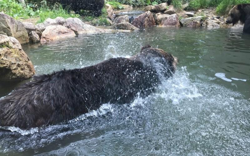 水しぶきをあげるヒグマ