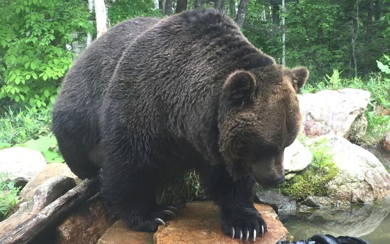 サホロリゾートのクマ