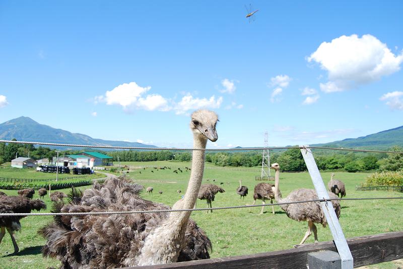 ニセコ有島のダチョウ牧場のダチョウ
