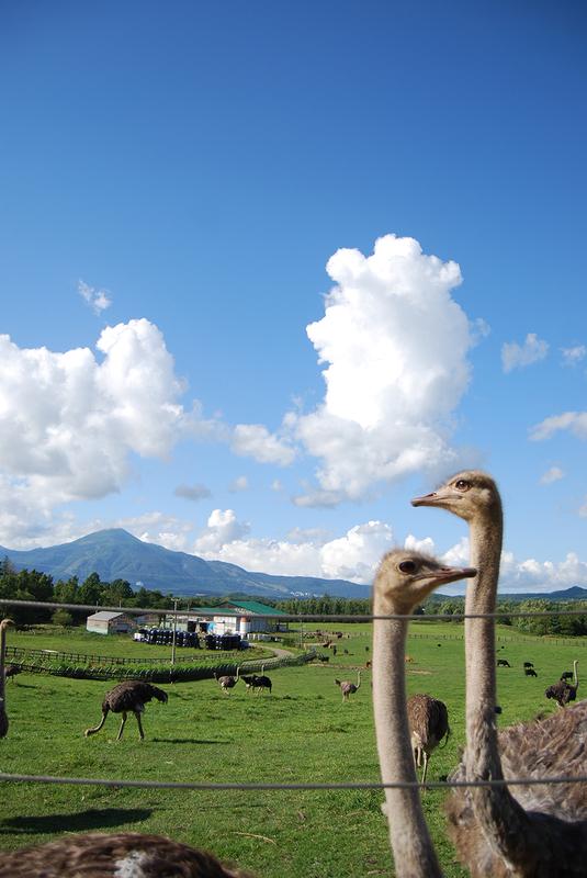 ニセコのダチョウと羊蹄山