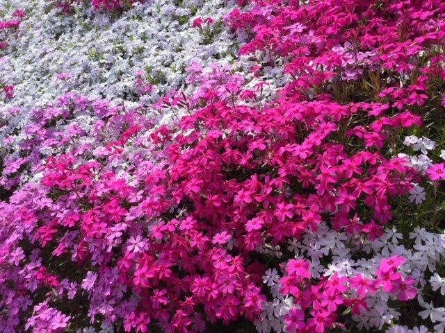 近くで見た芝桜の花