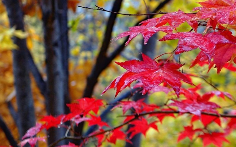Red leaves at Jozankei
