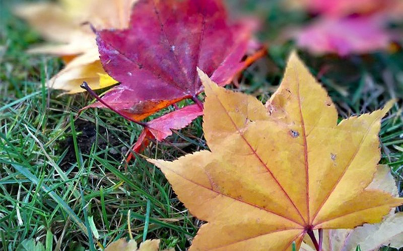 Unlike flower season in summer, the red and yellow leaves in autumn only last for one or two weeks.