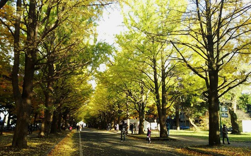 北海道大學的銀杏步行道