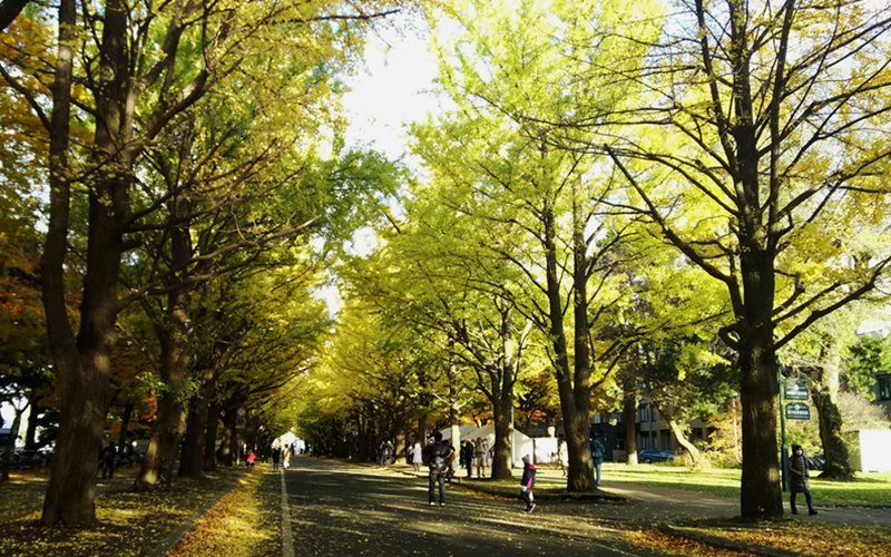 Ginkgo Avenue, Hokkaido University.