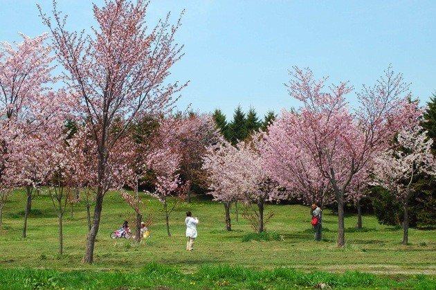 moerenuma park sakura sapporo hokkaido cherry blossoms