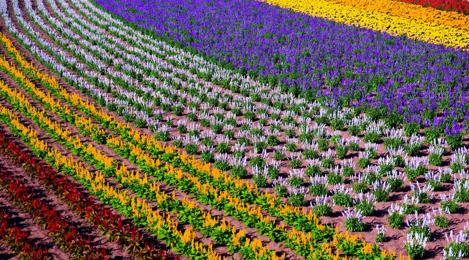 lavender fields in furano 2020