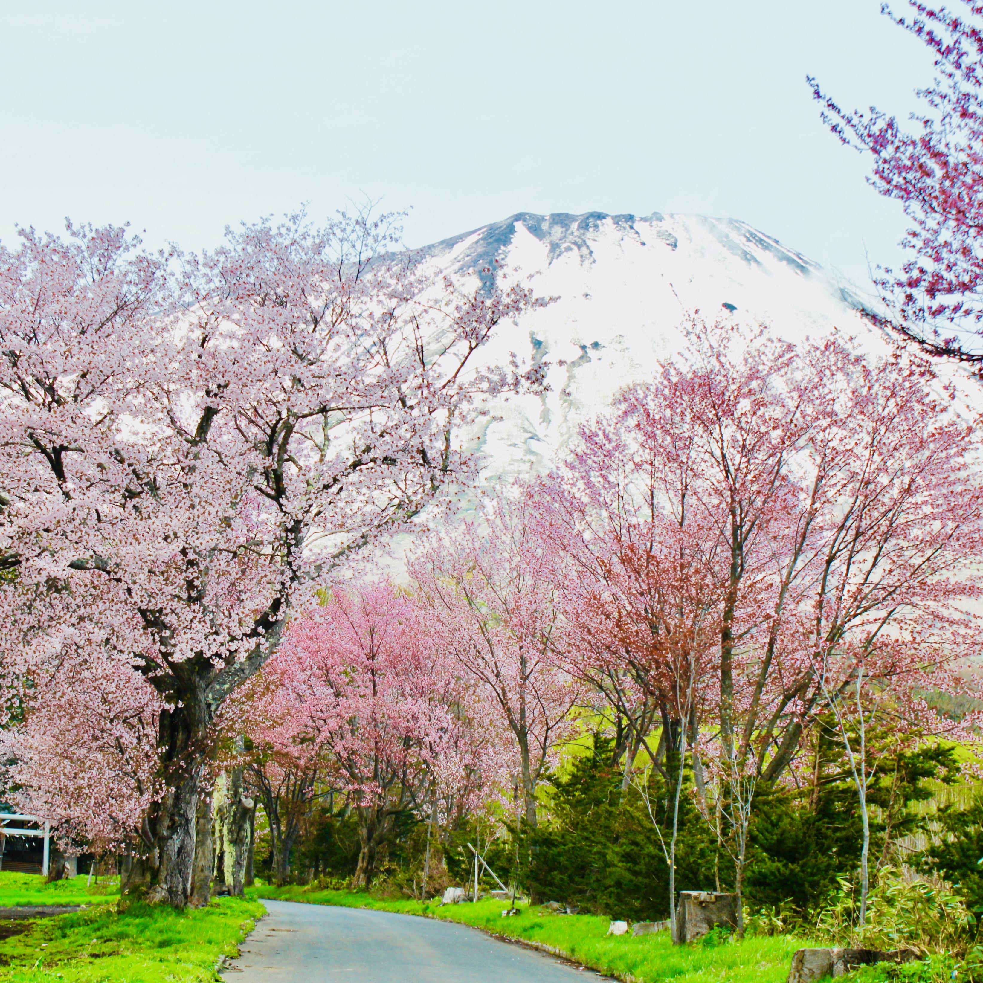 5月にお花見⁉︎ 桜と一緒に楽しむゴールデンウィークのニセコ&真狩!