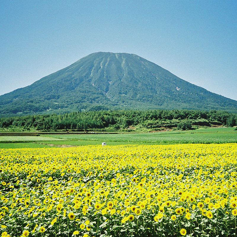 Mt Yotei in Summer with flowers
