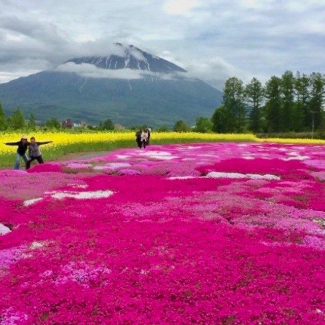 今が見頃!三島さんの芝桜と、寄り道にぴったり「庭先市」