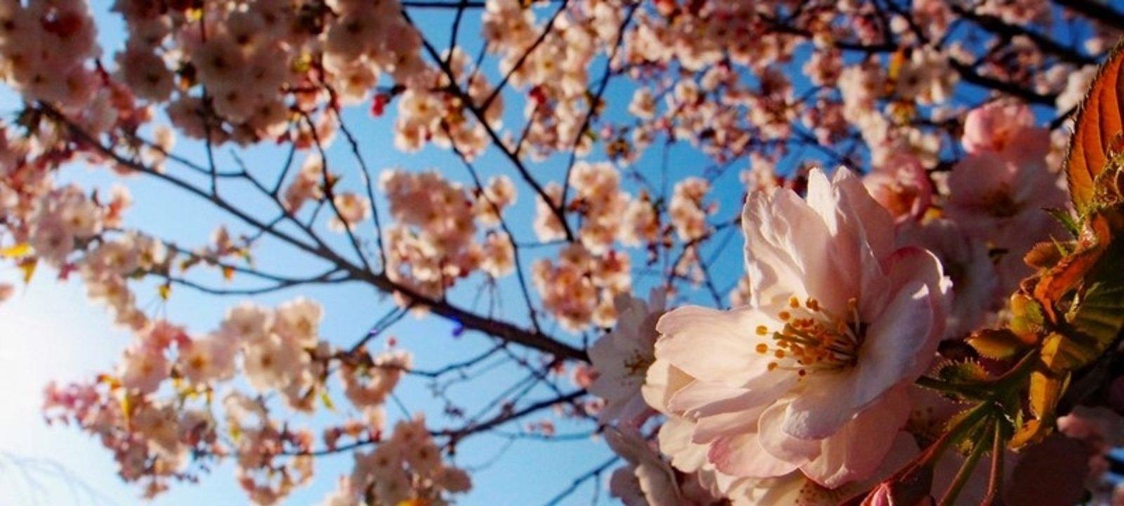 See Sakura this Spring