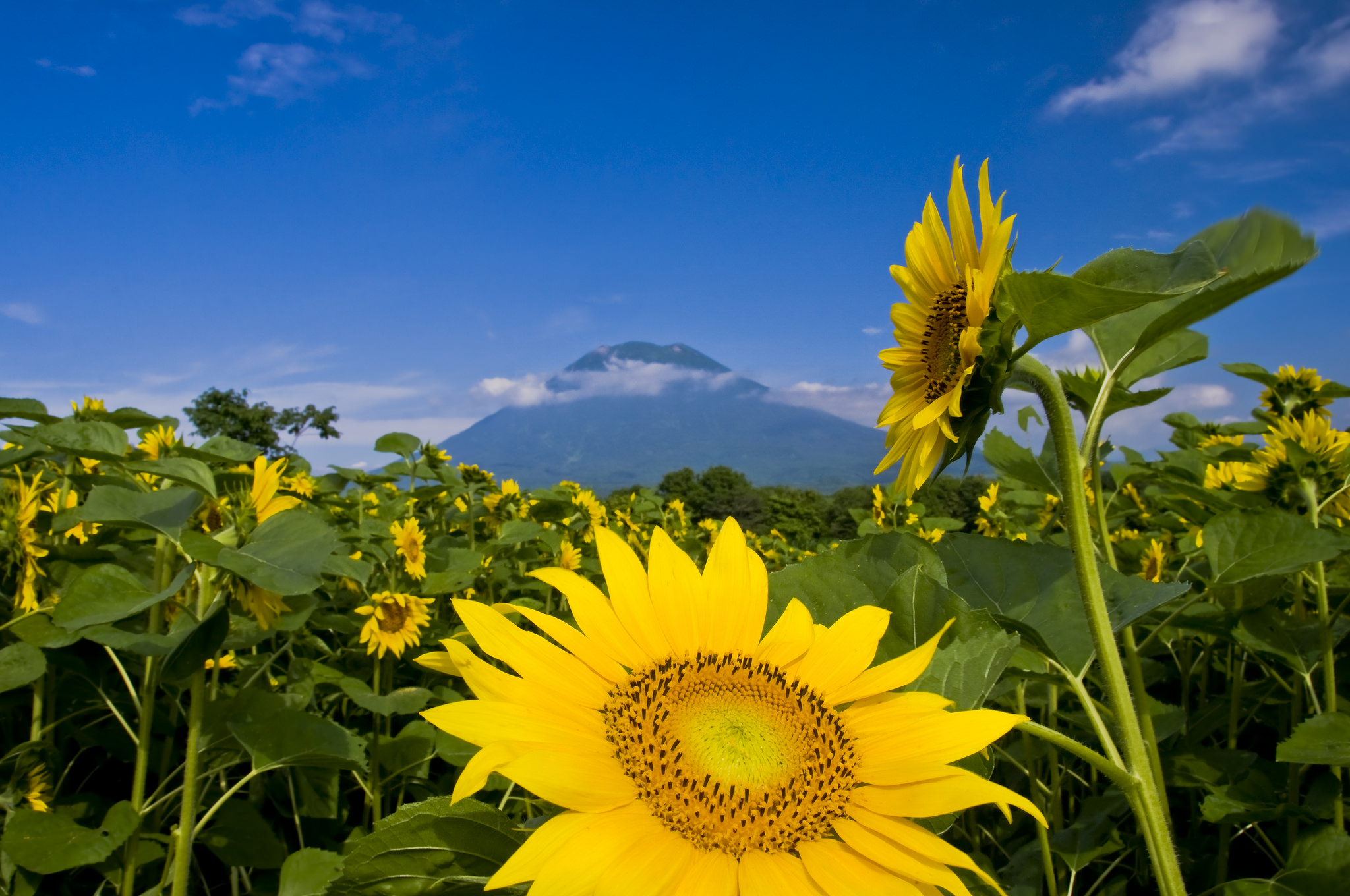 Sunflowers sit at the base of Yotei on a beautiful summer day