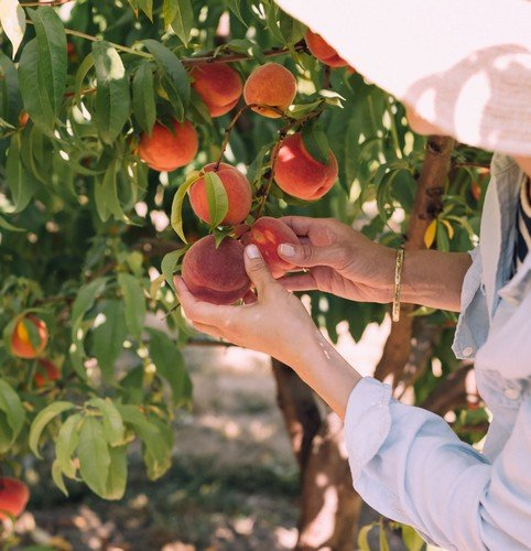 niseko hokkaido kutchan yoichi fruit picking tour summer activity