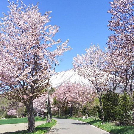 Where to see cherry blossoms in Niseko: 2020 Update