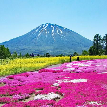 Shibazakura paradise in niseko